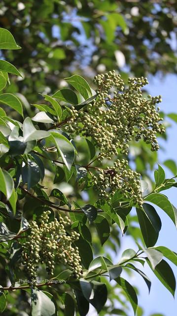 Bough Of Berries.