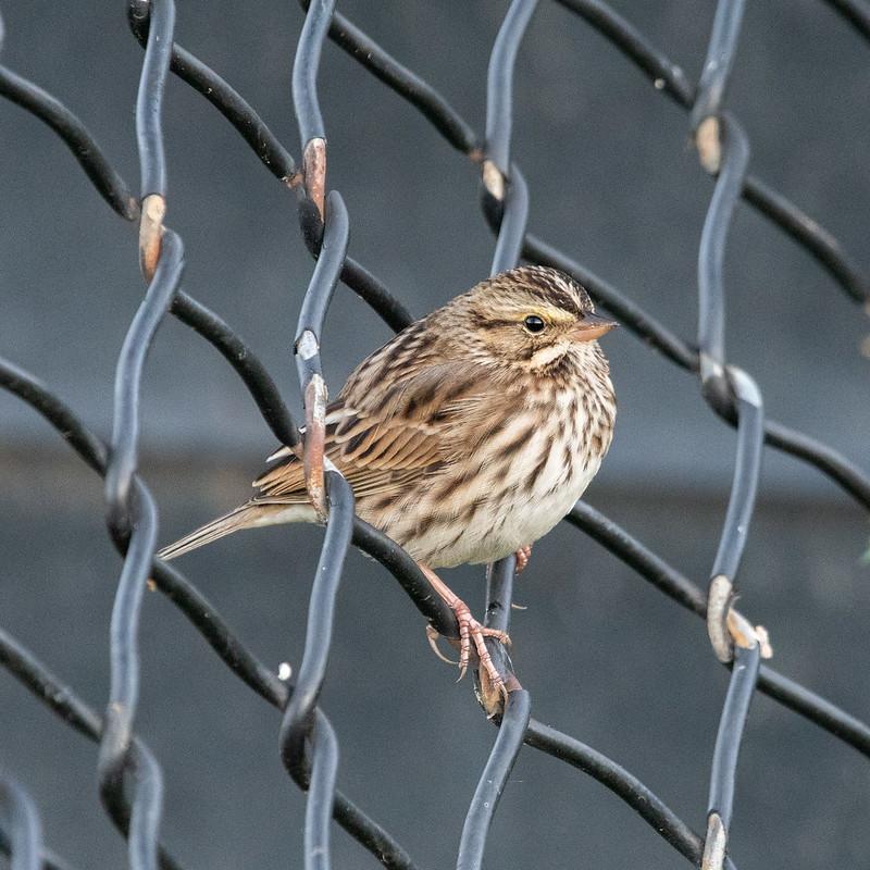 savannah-sparrow-4976