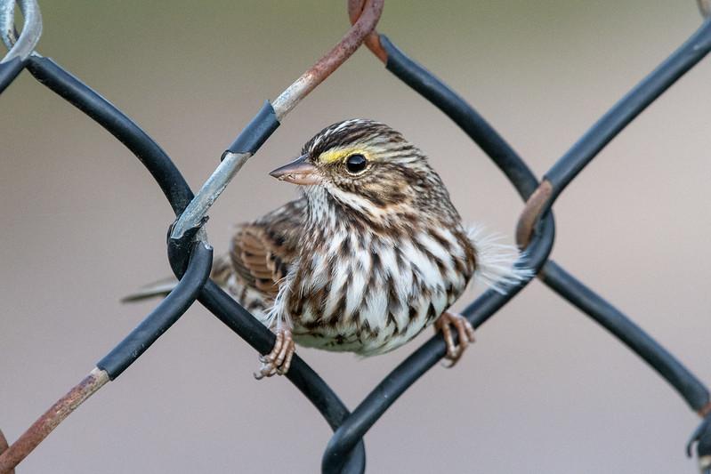 savannah-sparrow-4965
