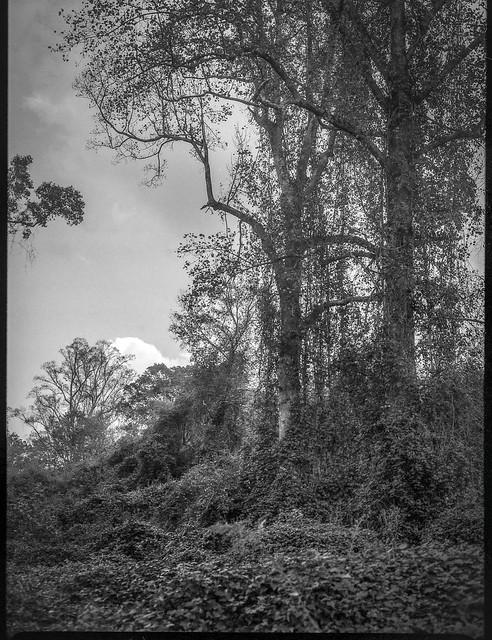 tall trees, kudzu-covered ground plane, autumn, Biltmore Esate, Asheville, NC, Mamiya 645 Pro, mamiya sekor 80mm f-2.8, 10.16.21