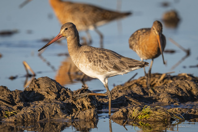 Maçarico-de-bico-direito | Black-tailed godwit | Limosa limosa