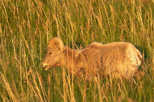 Bighorn Sheep in Sunrise Light