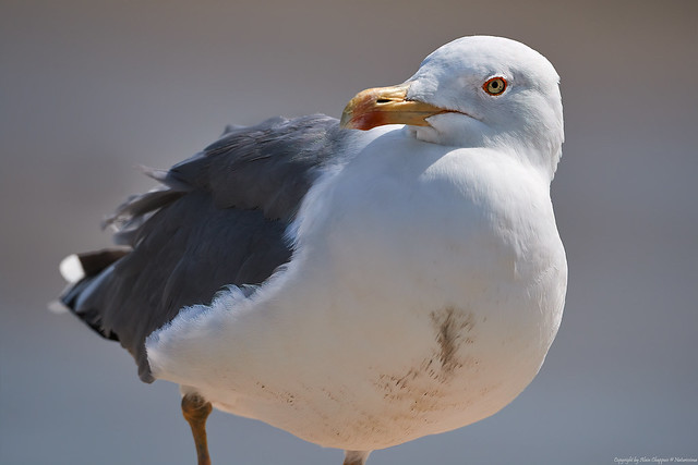 Goéland leucophée (Larus michahellis) - Yellow-legged Gull