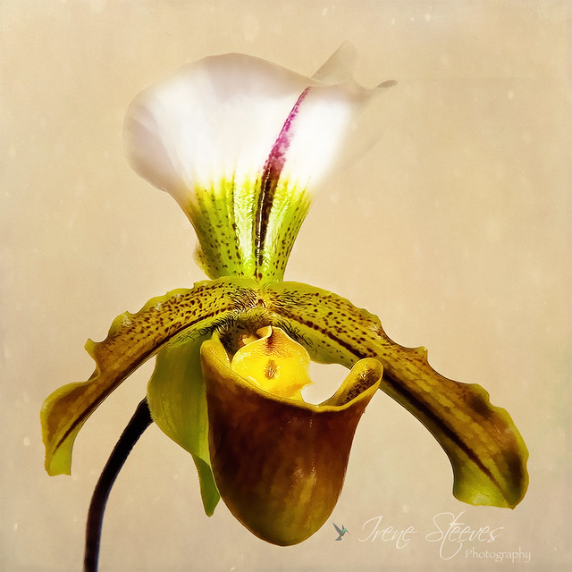 Paph. Leeanum Orchid
