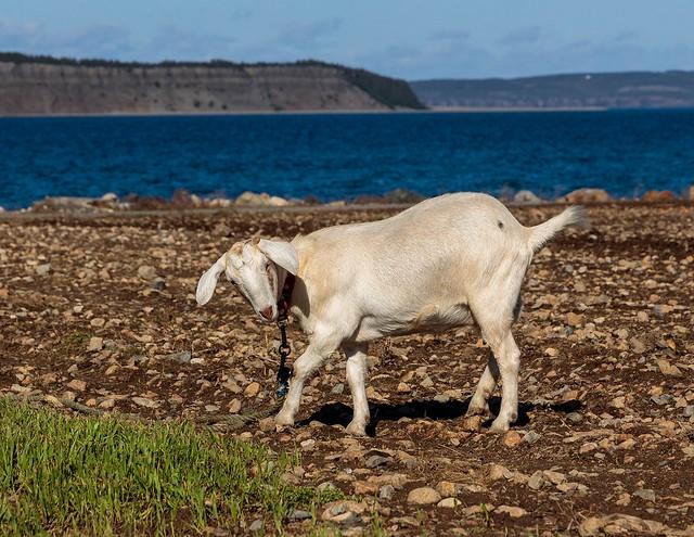 The Dancing Seaside Goat