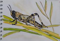 insekTober2021 - 19 - Criquet /  locust - grasshopper