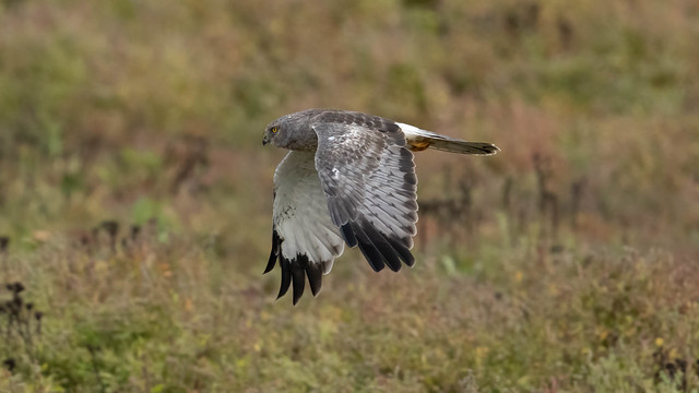Grey Ghost (Male Northern Harrier)
