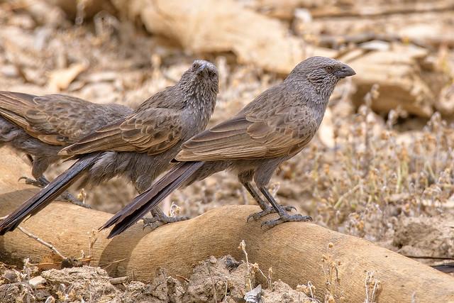 alice river - apostle birds