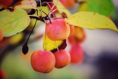 Small apples of a bonsai