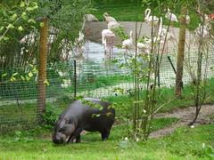 Pygmy Hippo at Marwell Zoo