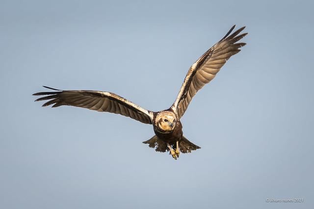 Tartaranhão-ruivo-dos-pauis | Western marsh harrier | Circus aeruginosus