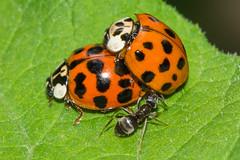 Marienku00e4fer (unbestimmt) (Coccinellidae indet.) (4)