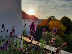 Mein Lavendel aufm Balkon blu00fcht noch immer.