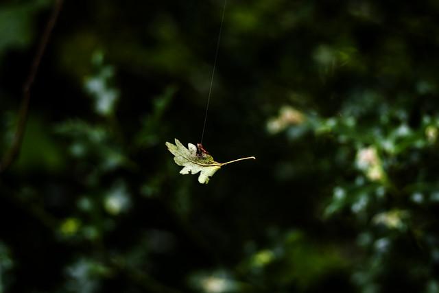 Oak leaf in a web