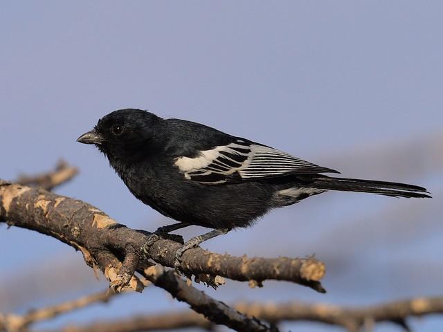 Southern Black Tit  (Parus niger)