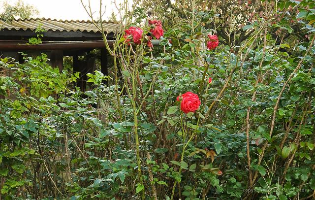 021Oct 14: Eco Wild Garden Rose