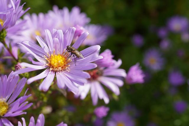 Purple asters...