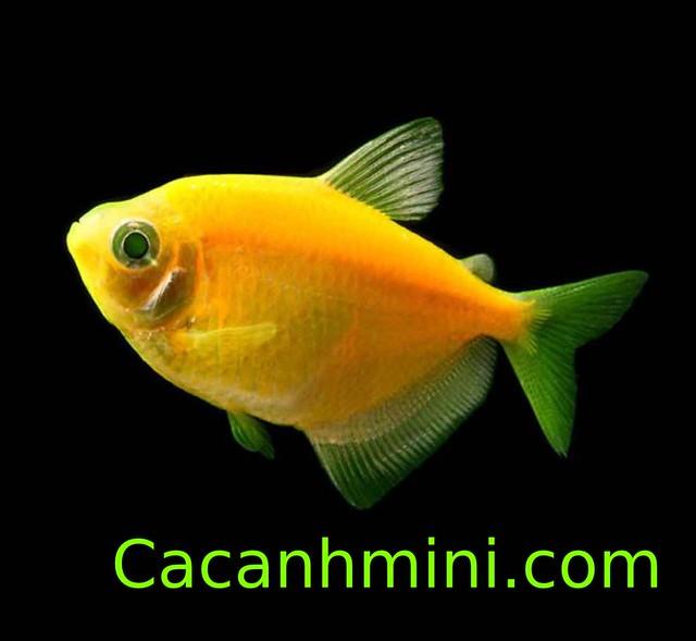 Gợi ý những loại cá cảnh màu vàng rực rỡ nhất