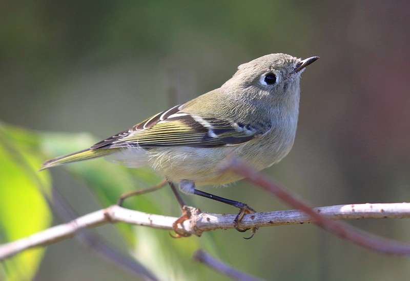 ruby-crowned kinglet at Lake Meyer Park IA 2K3A8195