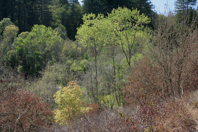 Cottonwoods and Others