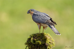 Eurasian Sparrowhawk (m) (Accipiter nisus)