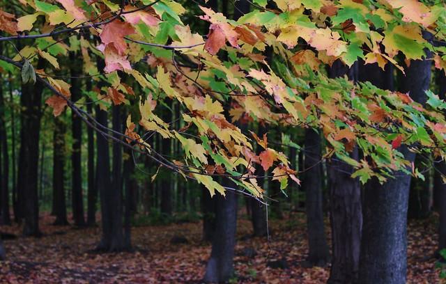 Toutes les couleurs de l'automne sur le même arbre...