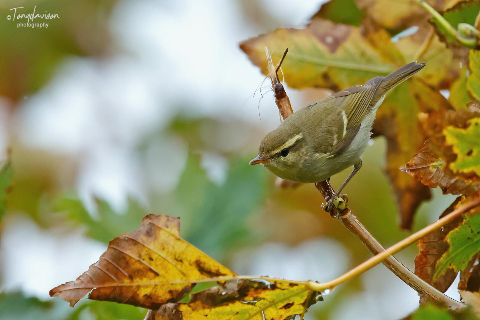 Two-barred Greenish Warbler _6__3900