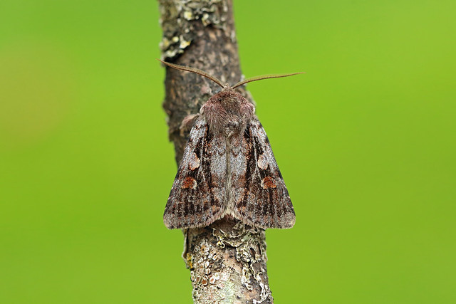 73.363 Northern Dart (Xestia alpicola), The Lecht, Aberdeenshire