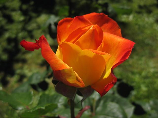 A Royal Circus Rose Bloom - Preston