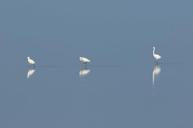 Three Egret