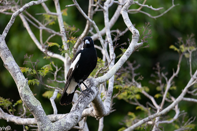 Australian magpie dad on watch duty for predators as his young chicks explore nest branches on tree nearby. Yesterday they did a test flight to another tree to test their wings.
