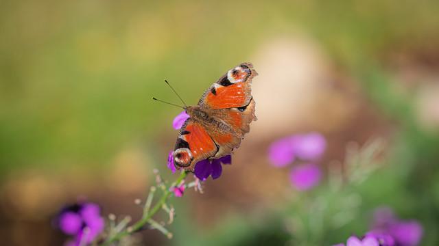 Last of the Butterflies