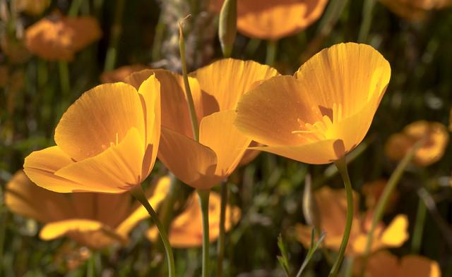 Poppy 22