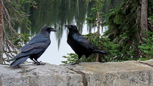 Common Ravens Having a Conversation