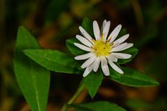 Aster sp. (?) Flower