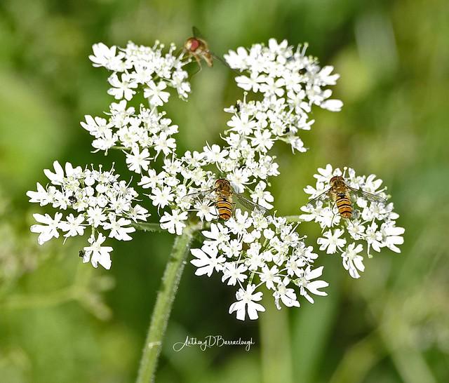 Hoverflies on Flower 654-1
