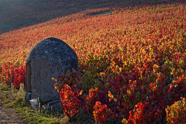 L'automne dans les vignes du Beaujolais