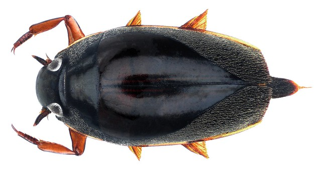 Orectochilus oblongiusculus oblongiusculus  Régimbart, 1886