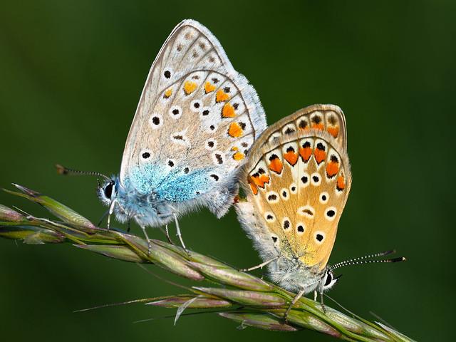 Mating pair of Polyommatus icarus