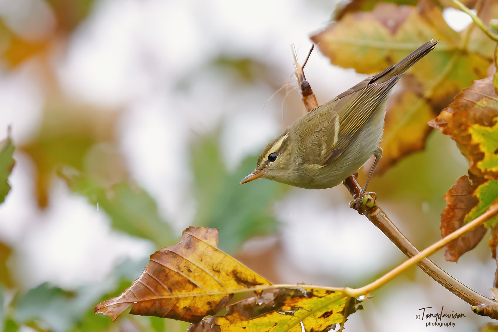 Two-barred Greenish Warbler - 1st winter