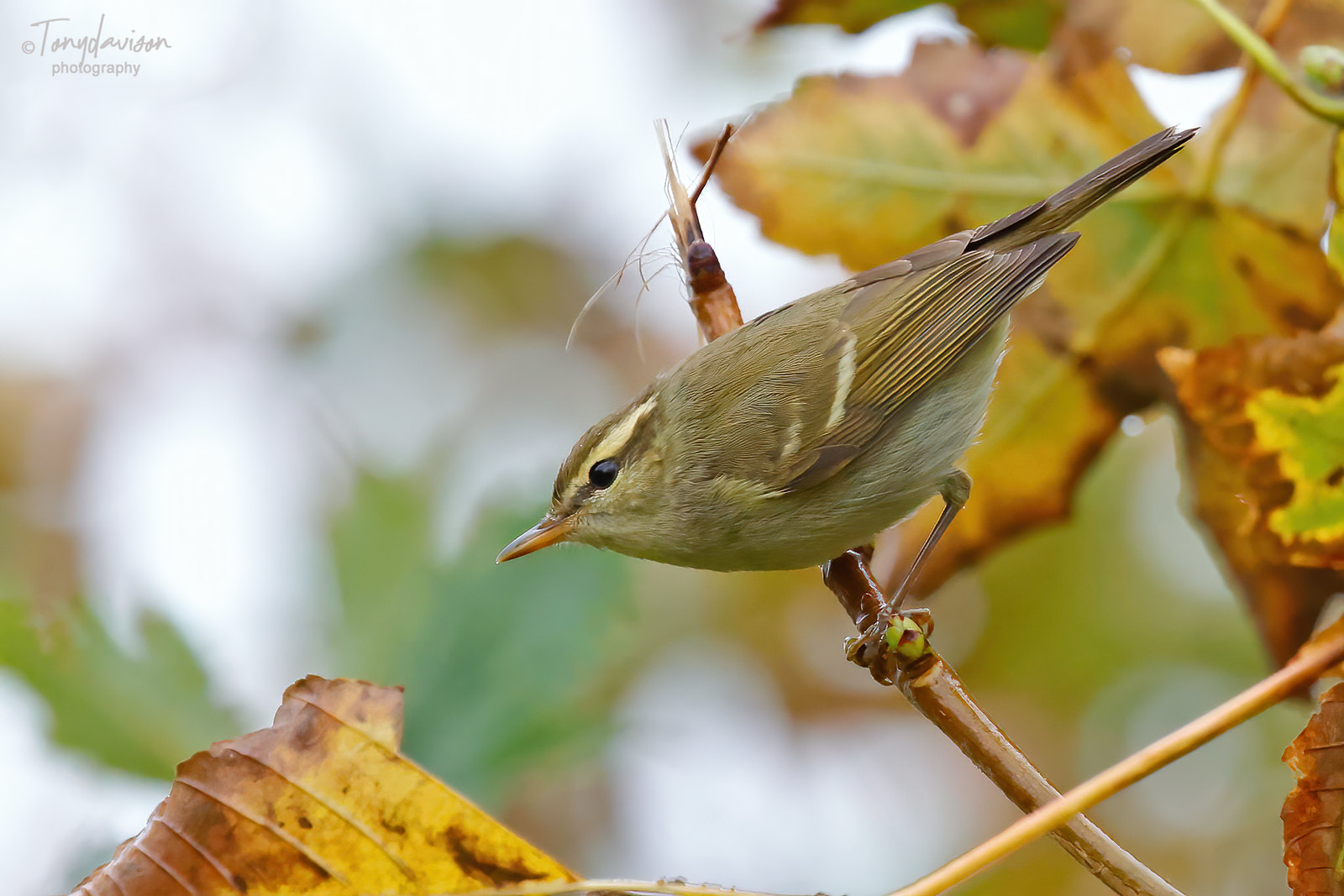Two-barred Greenish Warbler _6__3903