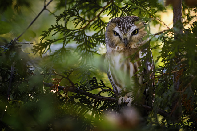 Northern Saw-whet Owl - Petite Nyctale