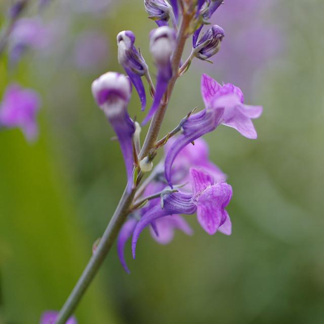 purple toadflax CU