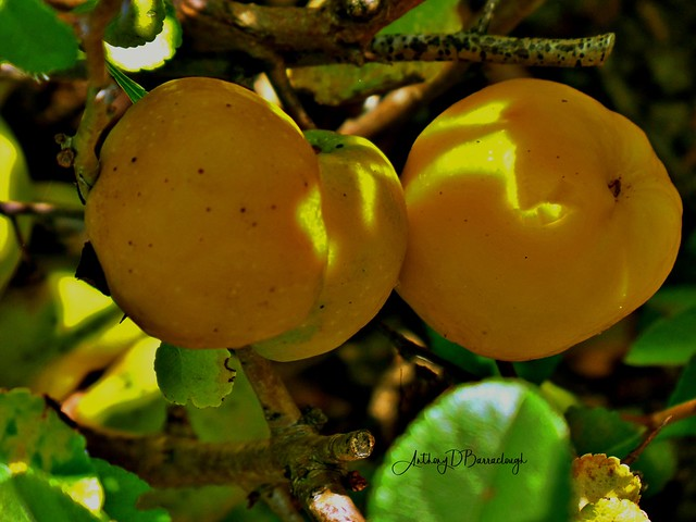 Quince Fruit 151a-1