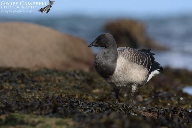 Light-bellied Brent Goose (Branta bernicla hrota)