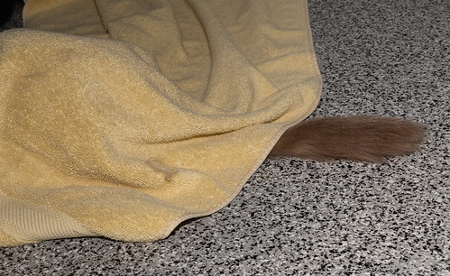 trixie_hiding_under_towel-20211020-100
