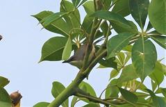 Sonnenprinie (Red-winged Warbler)