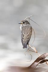 Grey-streaked Flycatcher - Muscicapa griseisticta