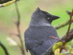 Dohle (Corvus monedula) (2)