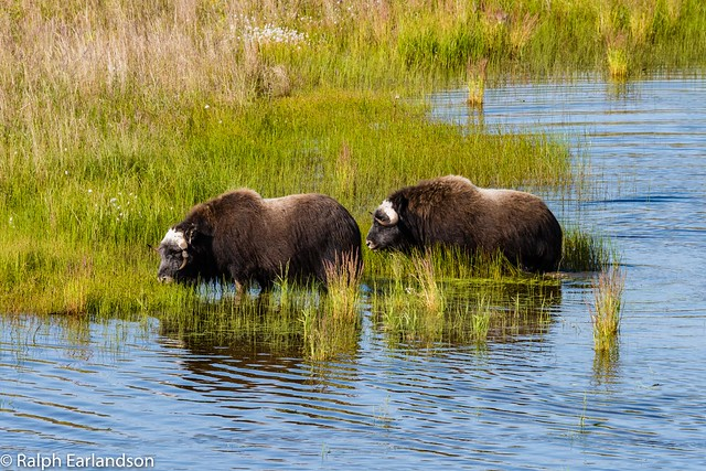 Musk Oxen and Marsh Grass